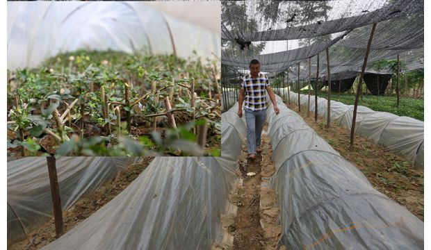 随州市佳禾生态园林公司利用扦插技术繁殖培育对节白蜡