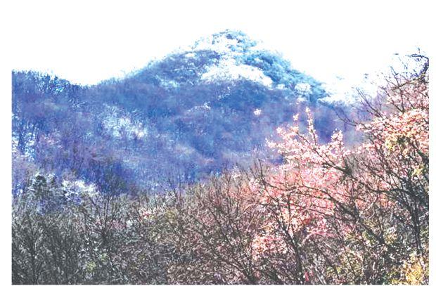 大洪山呈现半山樱花半山雪的美景
