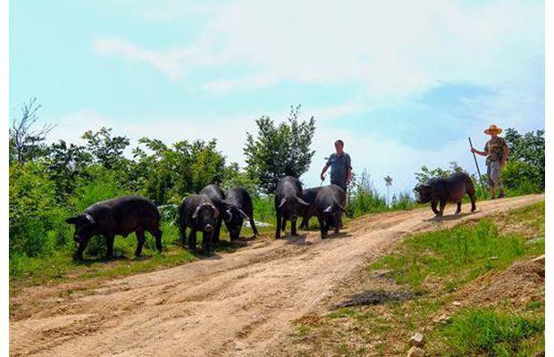 隨縣草店鎮三道河村利用橡樹資源養殖生態黑豬
