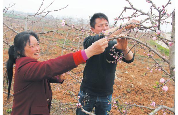 摘花疏果促增收