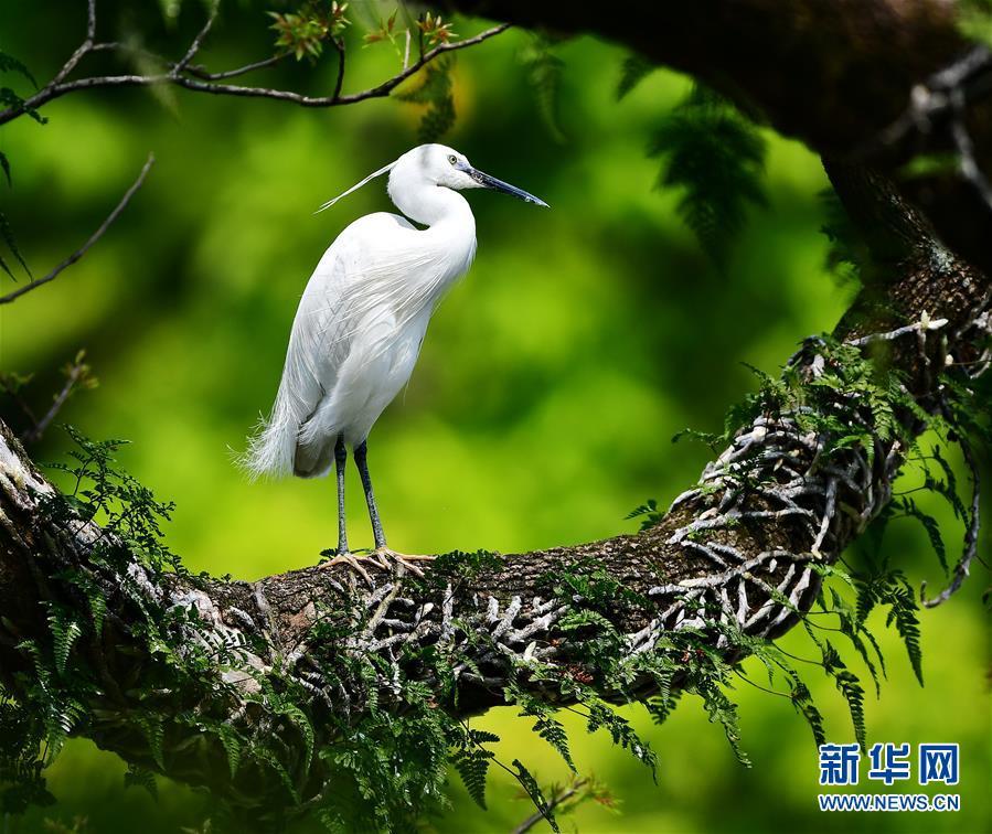 古樹(shu),春鳥