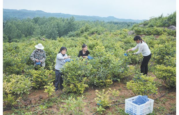 2000亩蓝莓开摘