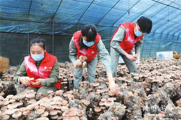 义务采摘香菇助力特色产业